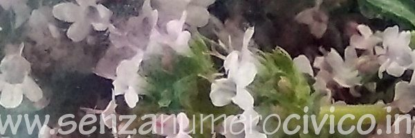 fiori di timo