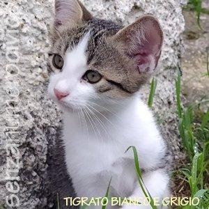 tigrato bianco e grigio
