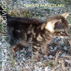 gattino tigrato particolare