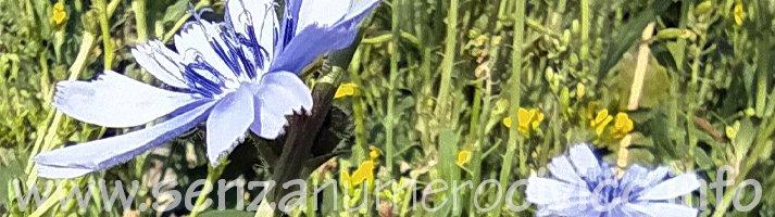 fiori di cicoria