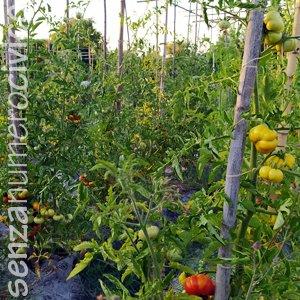 file di pomodori antichi
