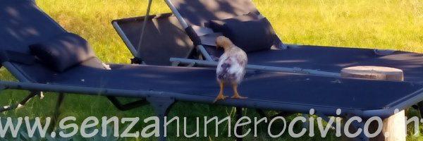 pollastro sul lettino prendisole
