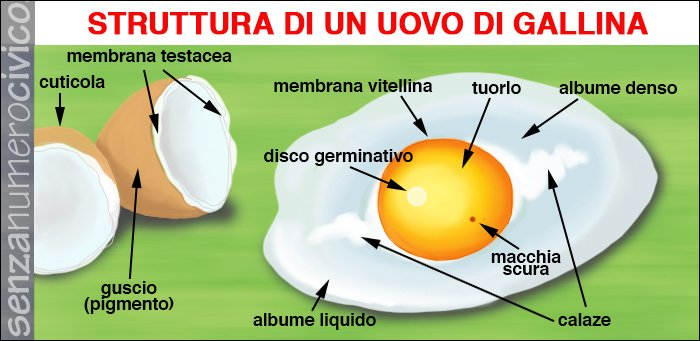 illustrazione struttura di un uovo