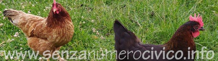 gallina ovaiola e gallina di razza Marans