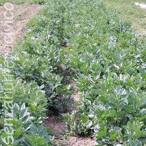 coltivazione familiare di fave