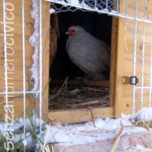 galline nel pollaio in inverno