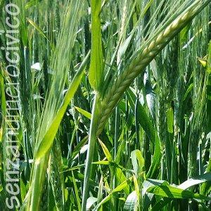 grano a maggio