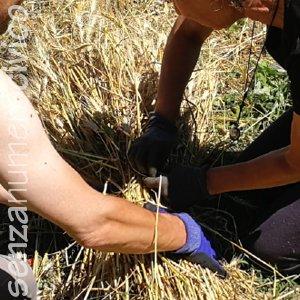 legatura delle fascine di grano
