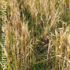 coltivazione di grano molto rada