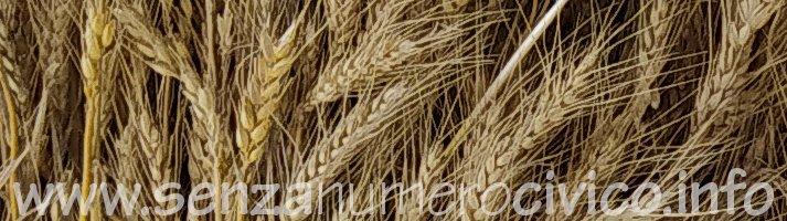 spighe di grano tenero