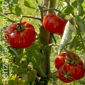 pomodori Santorini maturi
