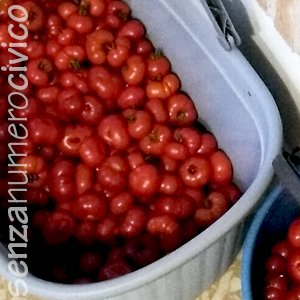 cesto di pomodori appena raccolti