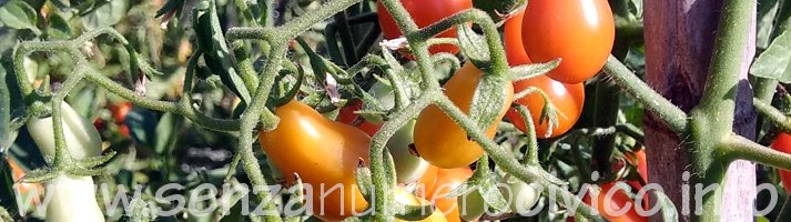 pomodori antichi: datterini siracusani